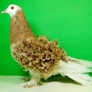 Содержание голубей — разведение, правила, виды, характеристики и кормление голубей (100 фото)