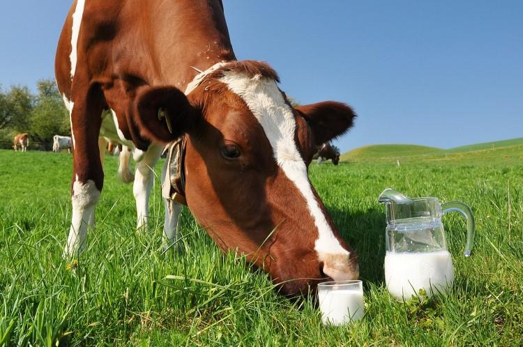 Как завести корову в подсобном хозяйстве