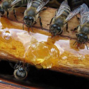 Содержание пчел: правила разведения и ухода за медоносными насекомыми для начинающих (100 фото)