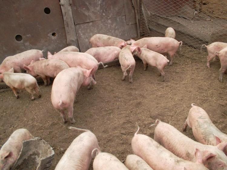 Фото содержания свиней на улице