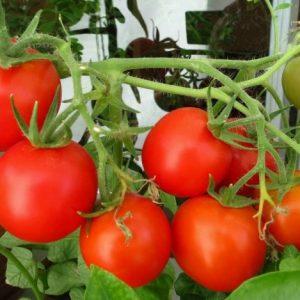 Сорта томатов: лучшие помидоры для выращивания в теплицах и для посадки в грунт. 120 фото, характеристики и особенности популярных сортов