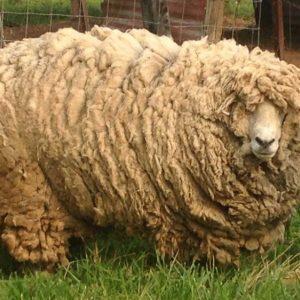Стрижка овец: оптимальные сроки, способы, техника и особенности стрижки в домашних условиях (125 фото)