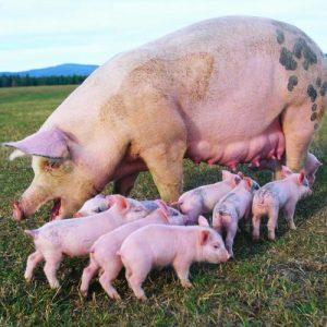 Свиноматка — особенности содержания, кормежка, секреты выращивания здоровых свиней и содержание их потомства (110 фото)