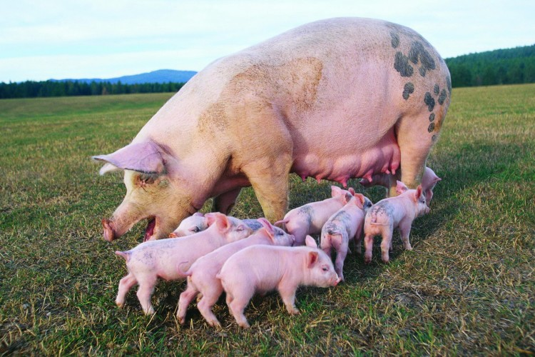 Как выглядит свиноматка