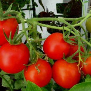 Томаты в теплице: посадка, выращивание и уход. Необходимое оборудование и рентабельность выращивания помидор в теплицах