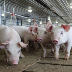 Вес свиньи: как определить оптимальный и максимальный вес, методы измерения и весовая таблица по месяцам (95 фото)