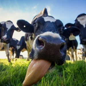 Вымя коровы: строение, описание, болезни, уход и профилактика. Правильное доение и обработка вымени (75 фото)