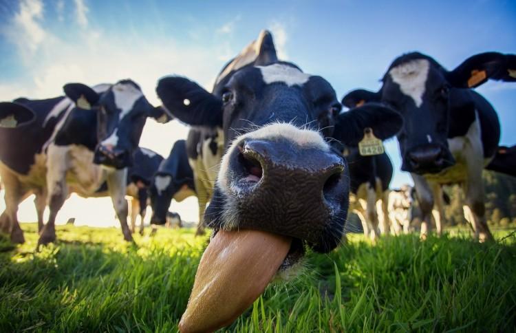 Строение вымени коровы