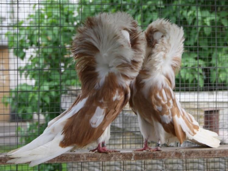 Разведение голубей в домашних условиях