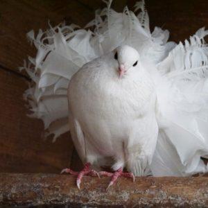Выращивание голубей: содержание, уход и выращивание породистых голубей. Советы для начинающих (90 фото и видео)