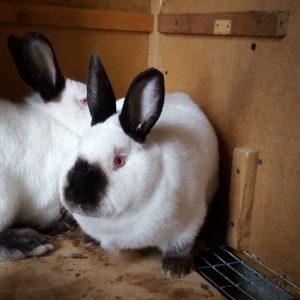 Выращивание кроликов: что нужно для организации фермы и советы для начинающих как начать выращивание кролей (105 фото и видео)