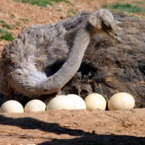 Яйцо страуса — размеры, характеристики, цена, интересные факты и особенности оценки качества (110 фото и видео)