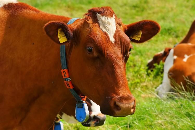 Болезни коров и другого крупного рогатого скота (КРС). Симптомы, лечение. Инфекционные заболевания домашнего скота