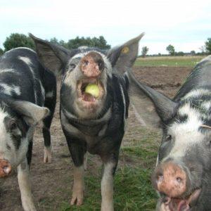 Кормление свиней: способы разведения и уход. Описание кормления, плюсы и минусы содержания (115 фото)