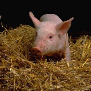 Лечение свиней: особенности ухода, профилактика, вакцинация и правила содержания (100 фото)
