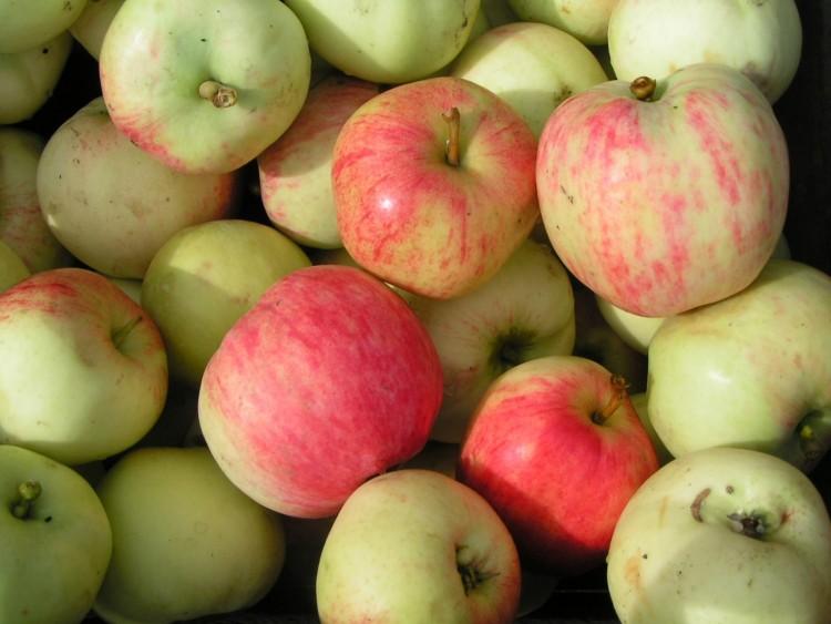 Сорта очень крупных яблок фото