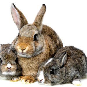Всё о беременности кролей: сколько длится беременность у кроликов и когда происходит окрол